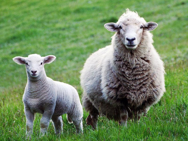 alimentacion-animal-ovinos